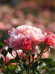 Rose, Umilo, バラ, ウミロ, (9587764166).jpg