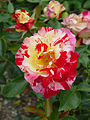 Rose Camille Pisarro カミーユ ピサロ (5003885281).jpg