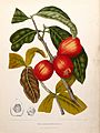 Rose apple (Syzygium jambos (L.) Alston); fruiting branch wi Wellcome V0042693.jpg