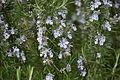 Rosmarinus officinalis in Botanical Garden of Besançon 02.JPG