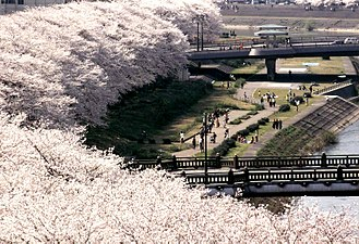 Fukui Prefecture - Row of sakura, Asuwa River, Fukui, Fukui