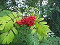 Rowan-berries (Sorbus aucuparia), Sweden, 20150828c.jpg