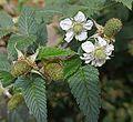 Rubus glaucus - Flickr - Dick Culbert.jpg