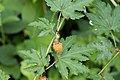 Rubus palmatus var. coptophyllus 01.jpg