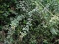 Rubus ulmifolius Buskett Gardens Malta 01.jpg