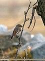 Rufous-backed Redstart (Phoenicurus erythronotus) (24424664324).jpg