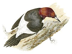 Rural Hours - Red-Headed Woodpecker.jpg
