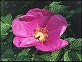Rynket rose.jpg