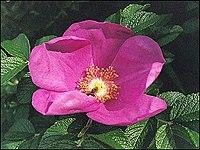 Rosa rugosa, vresros