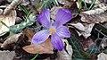 Saffron - Crocus vernus 31.jpg