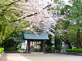 Sakura in Precincts of Itahato-jinja.jpg