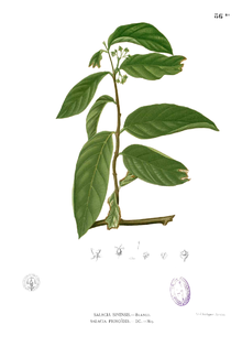 Salacia Plant Wikipedia