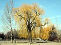 Salix × sepulcralis - Wollishofen - Landiwiese - Mythenquai 2012-03-12 13-54-42 (P7000).JPG
