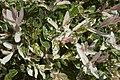 Salix integra Hakuro C.jpg