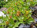 Salix retusa female Valais1.jpg