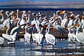 Salton Sea Offers Wintering Area for American White Pelicans (23220460656).jpg