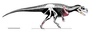 Saltriovenator Skeletal Diagram.png