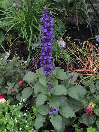 Salvia - Salvia farinacea × Salvia longispicata 'Mystic Spires Blue'