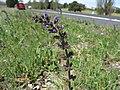 Salvia verbenaca flowerhead2 ST (15937798509).jpg
