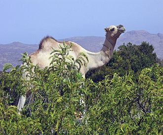 Sanaag - Camel in Almadow Forest, Somalia