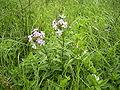 Saponaria-officinalis-plant.jpg