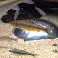 Sarcocheilichthys variegatus microoculus by OpenCage.jpg
