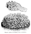 Scarole grosse de Limay Vilmorin-Andrieux 1904.png