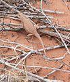 Sceloporus magister-Desert Spiny Lizard (10304904596).jpg
