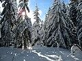 Schneebedeckte Fichten.jpg
