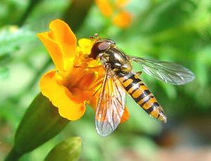 Grove hover fly (Episyrphus balteatus)