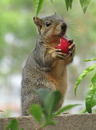 Fox squirrel - Eating a Santa Rosa plum in Fullerton, California