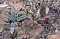Sclerocactus wetlandicus ssp ilseae fh 0701 Yucca harrimaniae ssp sterilis fh 1179 79 UT BB.jpg