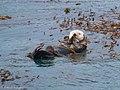 Sea Otter Pt Lobos State Natural Reserve Monterey CA 2017-04-11 11-43-34 (34323580745).jpg