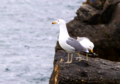 Seagulls at Caspian Seashore in Aktau city.png
