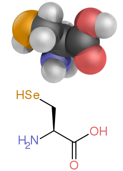 The structure of selenocysteine, this differs from the lead image by having the R group (the side-chain) replaced by a carbon atom with two hydrogen and a selenium attached.