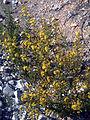 Senecio malacitanus Habito 15-10-2008 Illora.jpg