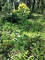 Senecio nemorensis subsp. jacquinianus sl7.jpg