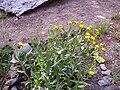 Senecio pyrenaicus subsp. granatensis Habitus 25July2009 SierraNevada.jpg
