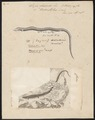 Seps chalcides - 1700-1880 - Print - Iconographia Zoologica - Special Collections University of Amsterdam - UBA01 IZ12600069.tif