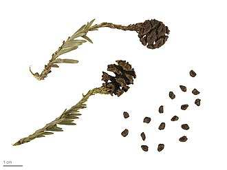 Sequoia sempervirens - Sequoia sempervirens – MHNT