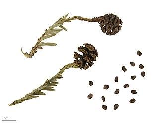 Sequoia sempervirens - Sequoia sempervirens – MHNT