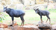 Serow in the zoo.jpg