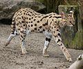 Serval at Auckland Zoo - Flickr - 111 Emergency.jpg