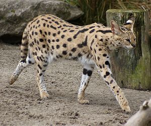 Serval - A close-up of a serval.