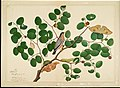Shaikh Zain ud-Din - Brahminy Starling with Two Antheraea Moths, Caterpillar, and Cocoon on an Indian Jujube Tree.jpg