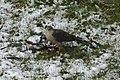 Sharp-shinned Hawk (Accipiter striatus) - Mississauga, Ontario 04.jpg