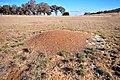 Shattuck 34774-1, Iridomyrmex purpureus, near Bungendore, NSW.jpg