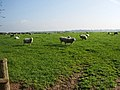 Sheep - geograph.org.uk - 598286.jpg