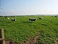 Sheep - geograph.org.uk - 598286.jpg