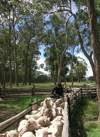 Deworming - Drenching Merino hoggets, Walcha, NSW